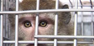 Primate rinchiuso in una gabbia (LAV)