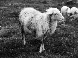 Pecora Sarda