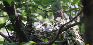 Frame dal video del Parco Nazionale dell'Aspromonte, nidificazione del falco pecchiaiolo
