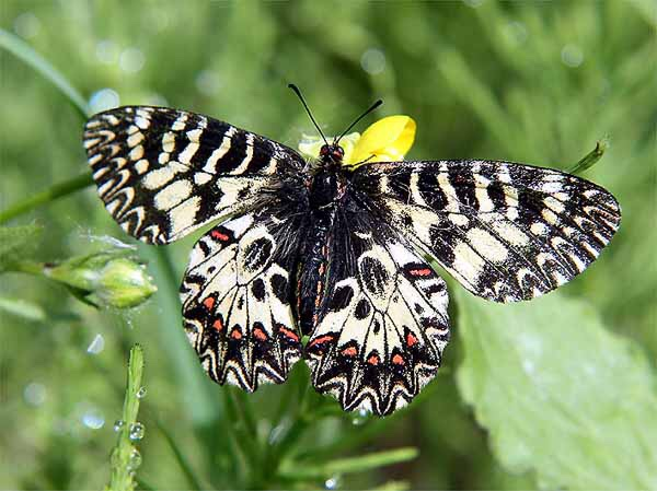 Elba, farfalle endemiche rubate al Santuario e rivendute a 50 euro