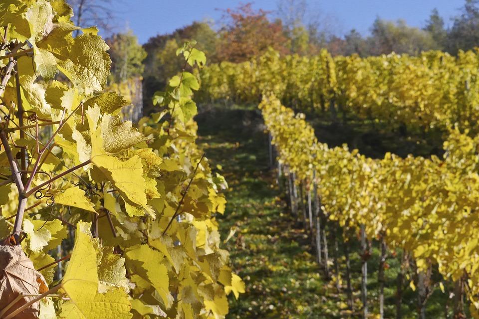 Vino, 80mila ettari di vecchie vigne lasciano il posto a piante autoctone e green