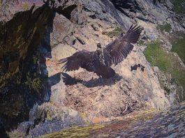 L'involo del ripeto Avrì nel Parco Nazionale del Gran Paradiso