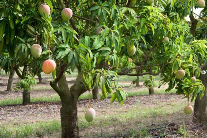Coltivazione di mango