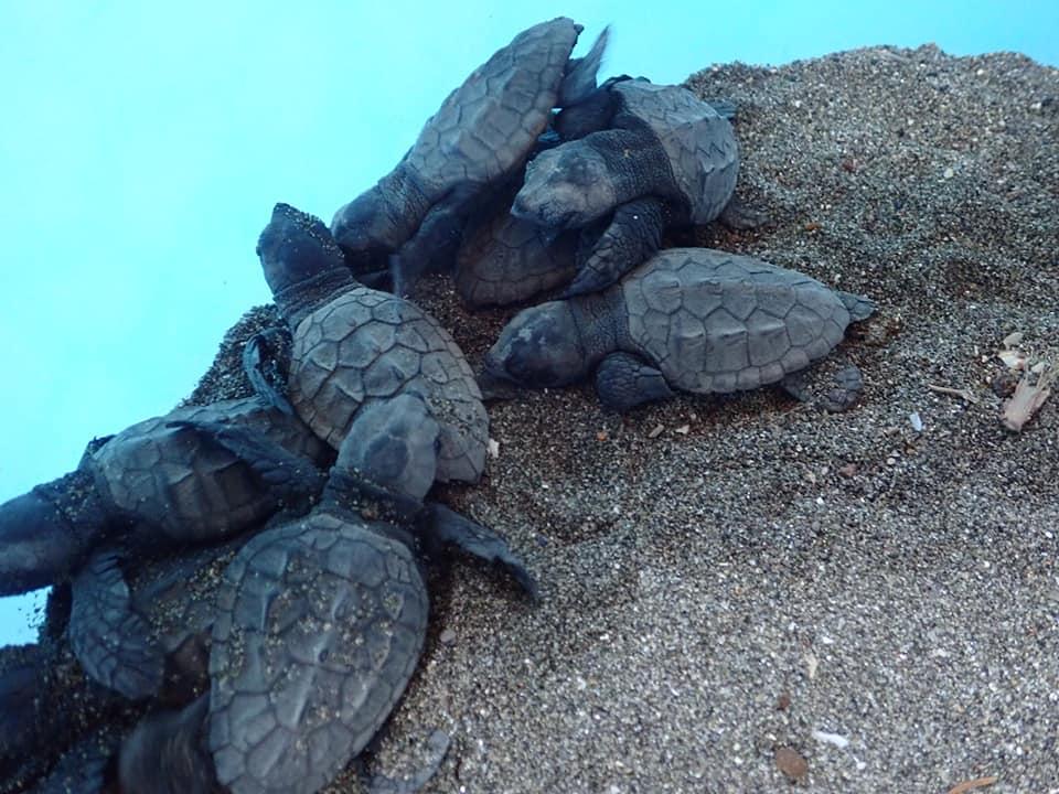 Le tartarughine venute alla luce a Sorrento