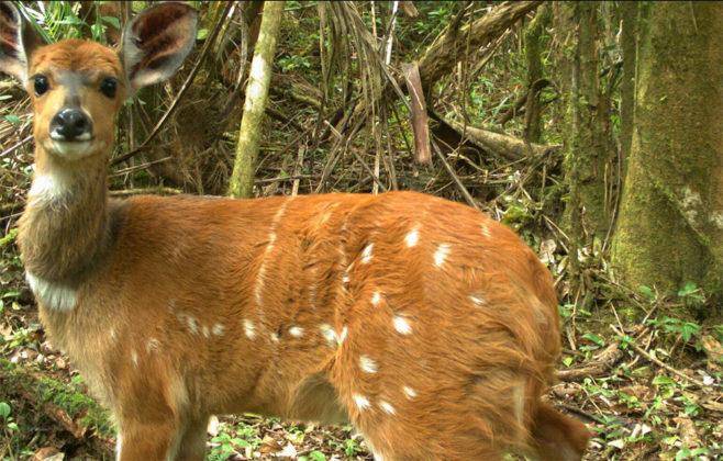 Antilope - Tanzania