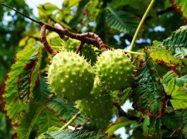 Frutti di ippocastano