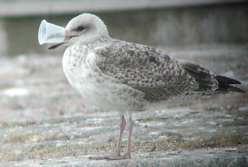 Mediterraneo: 116 specie diverse hanno ingerito plastica, 44 sono rimaste intrappolate