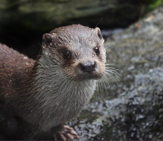 Lontra di fiume, immagine d'archivio