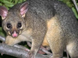 Opossum australiano