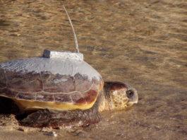 Tartaruga equipaggiata di un trasmettitore satellitare