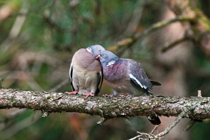 Una coppia di colombacci, foto di Luigi Sebastiani