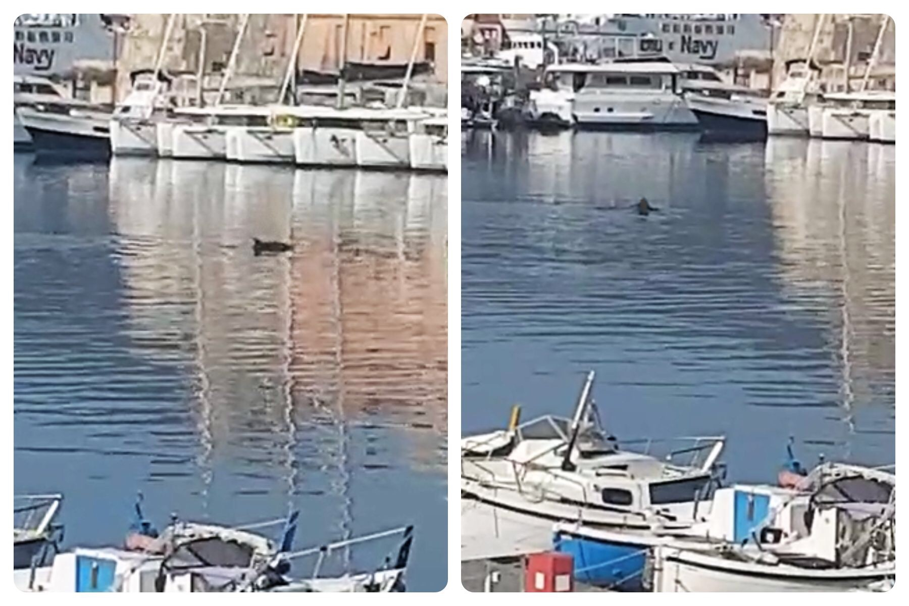 """I delfini entrano in darsena a Portoferraio, gli isolani: """"Segnale benaugurante"""""""