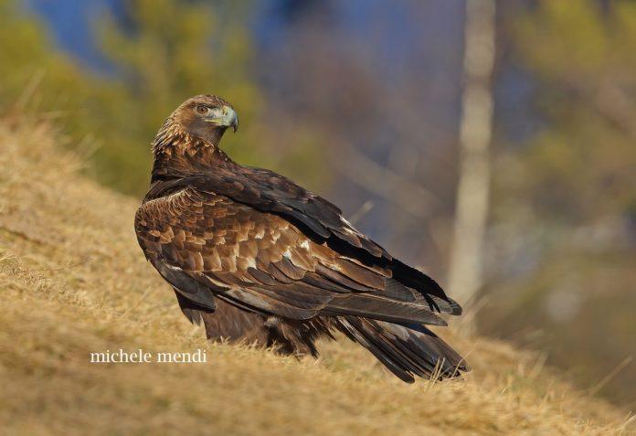 Aquila reale, Michele Mendi