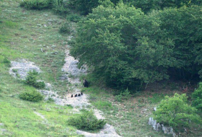 Mamma orsa con i suoi cuccioli nel Parco Nazionale d'Abruzzo